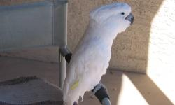White male, 13 years old, very healthy. He has been hand raised and been a pet for his entire life. He has never been bred. He is a great companion bird and likes being around people. He has a small vocabulary. We have his flight feathers clipped so he