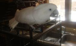 Beautiful Cockatoo. Loves to be petted, held and talked to. Will be loud without attention. Should not go to an apartment. Also should be experienced with parrots. $400 comes with cage and toys. No emails or text messages will be answered. Please call