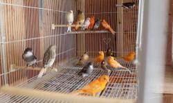 Various color canaries. Very healthy and males great singers. Males $55 & Females $50. $100 for pair. See them sing on Youtube link below. Diferente colores canarios. Creados con comidas mas nutritivas y machos buen cantadores. Machos a $55 y hembras a