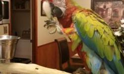 9 month old male Verdi macaw. Asking 1500 or best offer paid 3000 for him have DNA papers ..text Carla 832-474-8925. I have the bird in reserve Louisiana. Which is in between new Orleans and baton Rouge. Must be experienced bird handler as he is a little