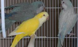 My friend just got me a trio of young rare color quakers for sale at the last bird fair in IN, not relizeing I've gotten outta them and don't need them at all. From what info we got on them they are leg banded and sexed as a female yellow Lutino that
