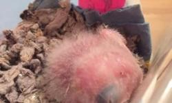 Very young and sweet Greater Sulfer Crested Cockatoo being lovingly hand raised now. We do not force our babies to wean, only on their terms. If you are interested please email or call to place a deposit, thank you.