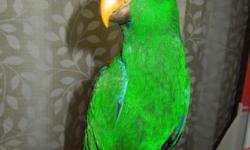 He is just weaned and already trying out sounds to speak. He is eating very well, he is a Red Sided Eclectus. He is just coming up on 4 months old, so now he is fully weaned. He is eating Zupreem Natural Pellets, and lots of Veggies and fruit. They make