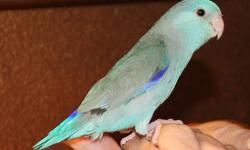 This sweet and beautiful parrotlet is very mellow and friendly. He stands on your finger and kisses, and snugles with you. His colors are vibrant blue as you can see by the pictures. See all the pictures on this page. The way it works is that you get same