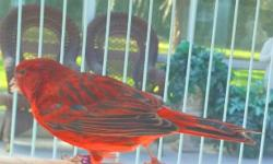 This vibrant red canary is looking for a home. His classy singing style has a marvelous ring to your ears. His preferred perch is high in the sun room where he can broadcast his dazzling melodies. The red canary is the best selling red bird in the