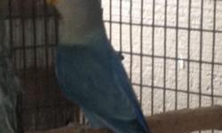 I have a young violet opaline lovebird. Has a deep blue/violet color This ad was posted with the eBay Classifieds mobile app.