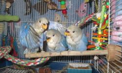 I have 12 new beautiful lovebird babies All ARE WEANED. 8 babies have gone to their new homes, so I have 5 babies still looking for their forever homes. ******************SPRING SALE ON ALL BABIES****************** The babies range in age from 10 weeks