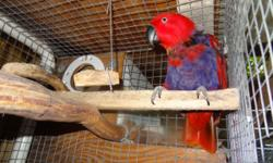 Very active Vos female. Perfect feathers and health. Not tame. She always was a breeder and produced 4-5 clutches with 2 eggs a year. She sits and feeds. Excellent mother! Her mate died of tumor and I can?t find a new one quality breeder for her. She is