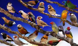 looking for free society finches ,zebra finches or free black cheek finches for my aviary in San Diego CA near San Diego zoo 619-764-3078 or close by