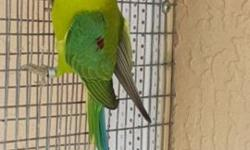 Looking for a male of PLUM HEAD. Please call or tex at 7864885939.