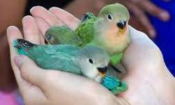 I am looking for finches, english budgies, masked or opaline lovebirds, conures (no suns or jendays), parrotlets, open to others. I recently re-located to Arizona and looking to get back into the hobby, only quality birds, willing to pay cash. Thank you