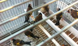 I'm looking for european bullfinches ( pyrrhula pyrrhula ) if you have any or know someone that has these birds for sale contact me at (862)703-9044, thanks