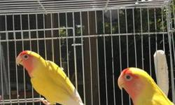 Hi, INterested in peachfaced lovebirds setting up a colony doesn't have to be paired up. Please email me or text/call me with what birds you have. Also green quakers. thanks