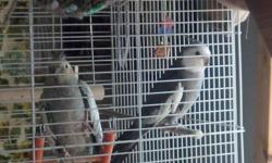 i have 2 black masked female love birds they keep laying eggs need 2 males so can be viable. or would trade female for male will pay fair price.
