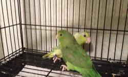 I am looking for whiteface tiel pairs, green cheek conures, Quaker parrots, several others just email me what you have. Experienced in handfeeding open to any kind of babies.