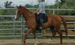 Warmblood - Metro - Large - Adult - Male - Horse Metro is a a big, handsome wbx. At 17.1h, he is a stunner! He has been working as a school horse but is tiring of that career and is ready for a person of his own that will bring out his true potential. He