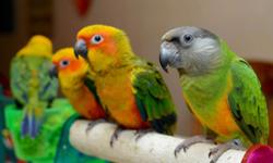 We have Sun conures babies! $450 each and we ask for $100 to hold until baby bird is weaned. We can ship for $125 and we can DNA for $40. Any questions please contact me. Thank You! https://www.facebook.com/PoconoAna
