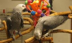 I am a breeder specializing in Congo greys for the last 30 years. I am not a pet store or a rescue or a sanctuary. Me and my wife love taking care of the Congo greys,we take in African greys that people don't want.and give them a forever home and a very
