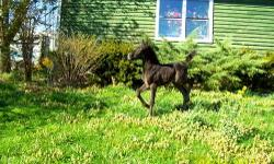 Witch Trot's Spring Day is out of the black Welsh mare Tess and by our Arabian Stallion Mayday. He can be registered half/Arabian and will come with registration application. He was born 3/27/13 and should be ready for a new home in July, or take both and