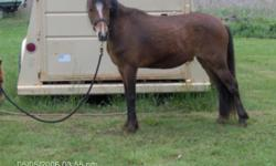 First photo is Twyford Twister, Reg. American Quarter Pony mare/ Welsh cross; age 15, 11.2Hh broke to ride Price $500.00 / Second photo Brigands Flash Lighting, Reg. AmQP mare/ Welsh cross; age 16, 12Hh broke to ride & drive Price $3000.00 OBO to right
