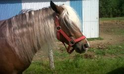 I have a Welsh pony. Chocolate in color. Hence hos name chocolate soup. Soupy for short. Very well mannered. Looking foe someone to give him a great home. Unfortunately I don't have the time to spend with him that he deserves. Please contact by phone