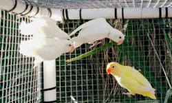 I have several white and albino Fischer lovebirds that are split to creamino. Text or message me for more info. 626-five one eight-2515