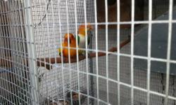 Male WBC and frmale sun conure, very bonded pair of beautyful birds, male is 3 years old and female is 2.