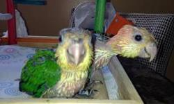 I'm selling 2 babies white bellied caique 5 weeks old ,feeding 3x per day call or text 203 206 3485 thank you. Willing to teach how to handfeed. This ad was posted with the eBay Classifieds mobile app.