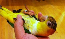 young 5 Months old white bellied caique, hand fed, tame, dna female, black color on the head will go away after 3 months. $850