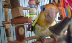 Cute,Clowney, well socialized ,hand raised ,haelth garenteed, hatched on 6/8/13 great for apartments,condos, quiet ,great ao round children and busy families, also good around other birds and pets. if interested call 203-909-4771