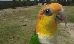White Bellied Caique, 8 months old Tame, but shy with strangers. $650 Firm.