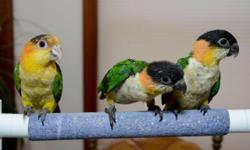 I have 1 White bellied Caique being hand fed now. Any questions please contact me. We can ship for an extra $125 We will work anyone who wants to own a baby bird from us. We are willing to also split the deposit in 2. 1/2 down and the other 1/2 in 2