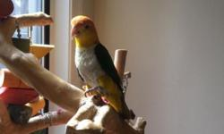 Fun loving and playful White Bellie Caique, male. Loves to play, cuddle and can say a few words and laughs. Good with kids. We are moving and can not taking him with us. He comes with a large cage, play stand, toys, a acrylic carrier and a back pack,