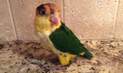 We are currently hand-feeding 2 White Bellied Caiques. $200 deposit will hold till weaned.