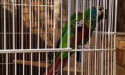 I have a pair of white cheek conures to rehome. The reason i am letting them go is because i have another pair already. They are in good condition and healthy. 300 for pair