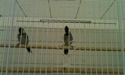 Breeding pair of White cheecked bulbul. They bread last year 4 chiks. Please call for the price 323 646 3453 This ad was posted with the eBay Classifieds mobile app.