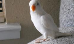 White fisher love birds. 10 weeks old. not tame, is easy to tame if you got time and patient. Rare not to many white fisher around. Asking $175 no cage. Serious person inquire only.