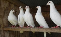 Snow white adult Homing Pigeons; treated for all parasites and ready to breed now. Healthy pairs always produce large white squabs. $7 each--37 available.