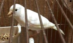 White female Russian canary born in May beautiful bird please contact me text or call 917-929-7432