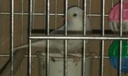 Very strong singing Russian Canary. Sings non-stop very strong. 8 months old. $75.