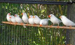 I have males and females of pure white zebra finches. They are NOT CFWs. Please see pictures. They are in perfect conditions 2-4 months old. If taken all, $8 each. Please call or email me. Thanks for looking at my ad.