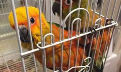 I have 10 sun conure babies available. They are all on 3 handfeedings right now. I can retail but am hoping to wholesale. Buy 1 for 275 But 2 for $500 5 for $1100 Or 10 for $2000 These are all unweaned on formula. 1 weaned baby for $350 (the one in the