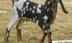 """Poseidon"" is a wildly spotted Purebred registered Nubian buckling born New Year's Day. Sire and dam are both spotted as well. He is disbudded and vaccinated. Will be tatooed before pick up. He is being bottle raised and received plenty of colostrum and"