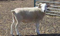 Purebred, registered Wiltshire Horn ewe. DOB 4/2011. She is originally from Saddlehorn Ranch in Texas, which has the largest concentration of purebred Wiltshire Horns in the U.S.. She has successfully lambed in 2012 and 2013. She is sound and healthy, but