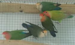 We are having a sale on all our peach face lovebirds now. Great low price at only 45 each.