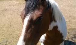 THIS IS A ONE OF A KIND REG GELDING 7yr 15.hh GENTLE IF YOU KNOW THE BASIC YOU CAN RIDE THIS BOY 100% SOUND/HEALTHY/GENTLE HE HAS BEEN RANCH ON TONS, GATHER TONS OF CATTLE, BEEN UP IN THE MOUNTAINS, ON CITY TRAILS, NOT SPOOKY, GOES THROUGH WATER, CREEKS,