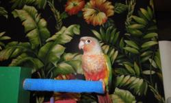 Pineapple Green Cheeks are very funny little birds and love to play around and get into things. They make wonderful pets and great family members. They are ready to go to their new homes. If there are any questions we can answer for you, please just ask.