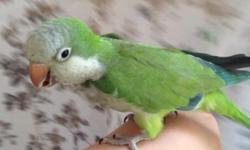 I have a 2 year old female Quaker Parrot named Sophie. She was handfed and raised by me, she can say hello and a few other words. She's in perfect health and a wonderful pet. She had laid eggs twice already so she is a female for sure. We do not have a
