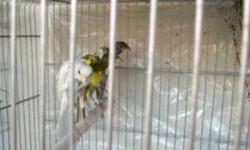 I am looking to buy canaries & finches. I have built a large aviary and would love to give your bird a good home. Please send me an email and let me know what you have. Thanks