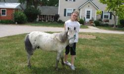Surena is a yearling spotted jenny out of a 14.1 black and white spotted jack and a 55 inch spotted jenny. She loves attention and is easy to handle and work with.